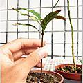 [育苗] 大葉石櫟