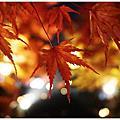[東京|秋冬好好玩。賞楓 銀杏 燈祭]