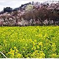 [日本東北 福島。五彩繽紛 花見山公園]