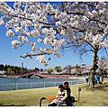[日本東北 福島郡山1300株櫻花滿開盛況。開成山公園]