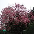 我家社區櫻花