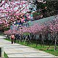 20120213 [新竹東區] 新竹公園--盛開中的河津櫻