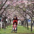 20150207 [新竹東區] 麗池公園河津櫻花開