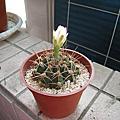 20090609仙人掌開花
