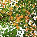 【三義民宿 向陽田園】2013楓葉季節