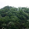 【三義民宿 向陽田園】2011桐花步道之一~向陽小徑
