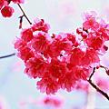 【三義民宿】向陽櫻花季