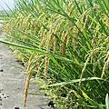 990405稻的成長照+0705結穗照