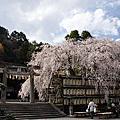 大石神社絕美的白色枝垂櫻