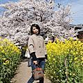 山科疏水之櫻花與油菜花