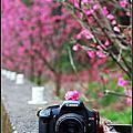 湖水巷‧遇見櫻花