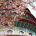 2011-天元宮櫻花