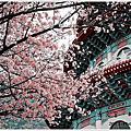 2013-天元宮.櫻花開了