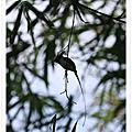 亞洲綬帶鳥