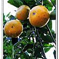 20101219萬瑞採橘