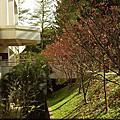 2010 春 清華大學 山櫻花