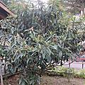 2013.12.29新竹鐵道路公園枇杷花