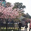 2014.02.02新竹科學園區櫻花和02.03新竹麗池公園的700棵河津櫻~櫻花都開