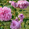 玫瑰與美人