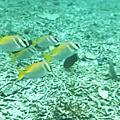 蘇美島跳島-海歐島浮潛