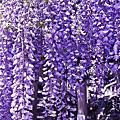 夢幻紫藤花