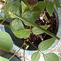種子寶寶成長日記11~~綠豆莢出現囉!