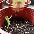 種子寶寶的成長日記~~打開豆莢