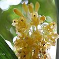 台灣原生蘭花之美「竹葉根節蘭」