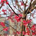 麗園公園櫻花