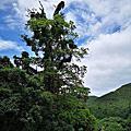 拉拉山巨木園區