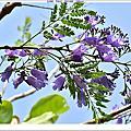 190405-花旗木