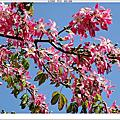 191208-美人樹