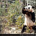 四川成都。熊貓基地