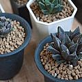 【陽台上的風景】 11種 新進 多肉植物 開箱分享