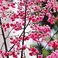 【台北市】中山區‧中吉里‧2013/2賞櫻趣‧寒櫻‧八重櫻~都會裡的小確幸