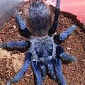 巴西大藍蛛