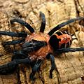 cyriocosmus chicoi 巴西侏儒老虎尾