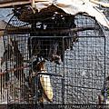 20151120《印尼日惹》第四天禽鳥市場