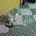 我家的貓太后