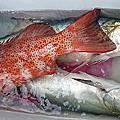 體驗討海人一支釣夢幻魚.....台灣魚類好吃排行「一午二鮸三嘉鱲」.今天釣了2種
