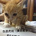 20160704桃園/中壢就醫貓