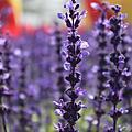 圆明园花卉