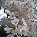 2008增上寺櫻花