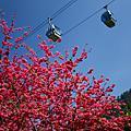 櫻花 × 祭