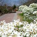 【南投。信義鄉】遠看就猶如靄靄白雪鋪蓋在樹梢上,原來是『白雪木』開花了,讓我們一起來去『柳家梅園』享受那聖誕初雪的幸福氛圍吧。(花況104.12.20)