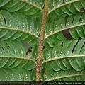 桫欏科 Cyatheaceae