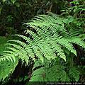 鱗毛蕨科--鱗毛蕨族--柄囊蕨屬