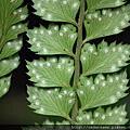 鱗毛蕨科--鱗毛蕨族--複葉耳蕨屬