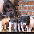 麝香豬寶寶