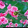 2016.03.06.城市巷弄的台灣山櫻花盛開了